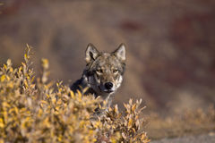 Loup Frontview d'automne Photographie stock