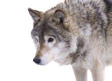 Loup gris photographie stock