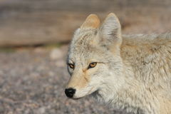 Loup gris Photo stock