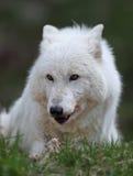 Loup gris Image libre de droits