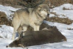 Loup gris Photo stock