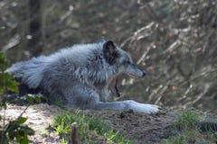 Loup gris baîllant. Photos libres de droits