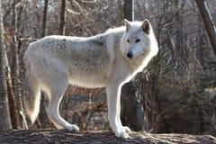 Loup gris d'Artctic Image libre de droits