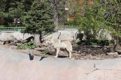 Loup gris dans toute sa gloire Images libres de droits