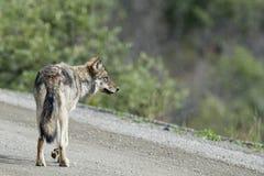 Loup gris de Denali Photographie stock libre de droits