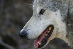 Loup gris de sourire Images libres de droits