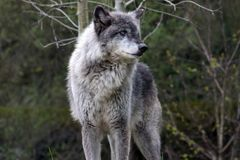 Loup gris dominant images stock