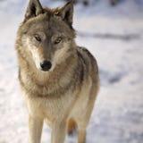 Loup gris en hiver Photos stock
