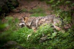 Loup gris/eurasien Photos libres de droits