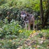 Loup gris/eurasien Photo libre de droits