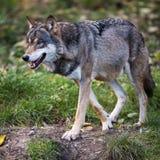 Loup gris/eurasien Photographie stock libre de droits