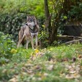 Loup gris/eurasien Image libre de droits
