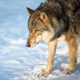 Loup gris/eurasien Image stock