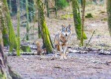 Loup gris européen Photos libres de droits