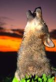 Loup gris hurlant au lever de soleil Photographie stock libre de droits