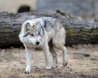 Loup gris mexicain images libres de droits