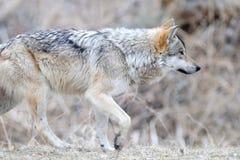 Loup gris mexicain de marche photo libre de droits