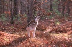 Loup hurlant Photographie stock libre de droits