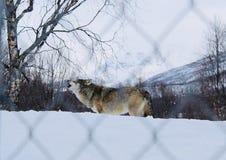Loup hurlant dans la neige image stock