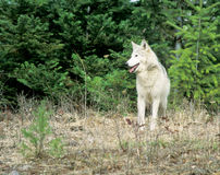 Loup, loup Photo stock