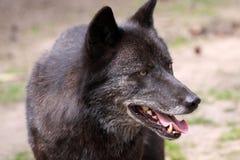 Loup (lupus de canis) Photos libres de droits
