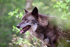 Loup (lupus de canis) Images stock