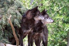 Loup (lupus de canis) Image libre de droits