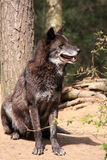 Loup (lupus de canis) Photographie stock libre de droits