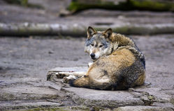 Loup (lupus de Canis) Photos stock