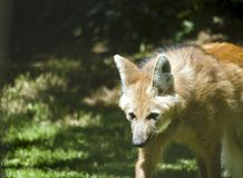 Loup Maned Photos stock