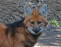 Loup Maned images stock