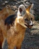 Loup Maned image stock