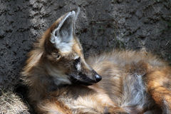 Loup Maned Photo libre de droits