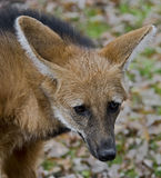 Loup Maned 5 Photo stock