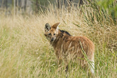 Loup maned rouge, brachyurus de chrysocyon Photos stock