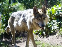 Loup mexicain Photo libre de droits