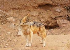 Loup mexicain Images libres de droits