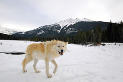 Loup par la forêt Image libre de droits