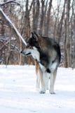 Loup pendant l'hiver Photo stock