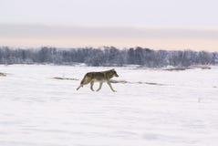 Loup polaire (albus de lupus de Canis) Photographie stock libre de droits