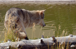 Loup regardant dans le regroupement Photos libres de droits