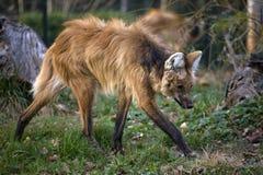 Loup rouge images libres de droits