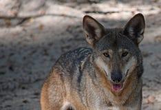Loup rouge mis en danger Photographie stock