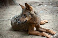 Loup sauvage Photographie stock