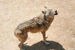 Loup sauvage Photos libres de droits