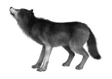 Loup sauvage sur le blanc Images libres de droits