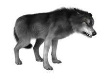 Loup sauvage sur le blanc Photos libres de droits
