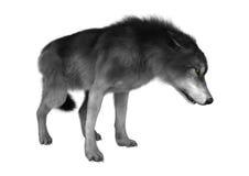 Loup sauvage sur le blanc Image stock