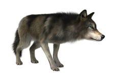 Loup sauvage sur le blanc Photographie stock