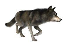 Loup sauvage sur le blanc Image libre de droits